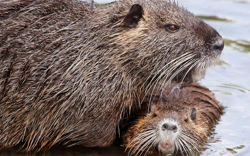 Coypu - also known as nutria - are native to South America but have thrived in Europe and the US - AP
