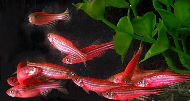 GloFish are seen swimming around a fish tank in this undated handout photo. The fish, which were genetically engineered to glow, were originally intended to help scientist study pollution but are now being marketed as the first genetically altered house pet. (Photo courtesy of GloFish/via Getty Images)