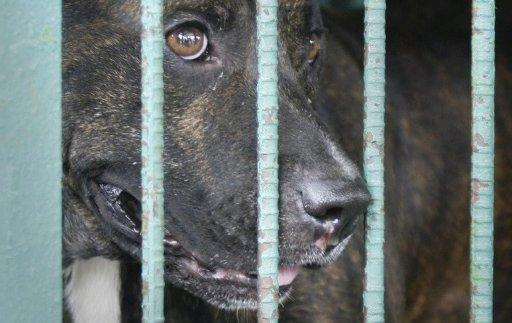 This file photo shows a pitbull dog, locked up in a cage in Manila