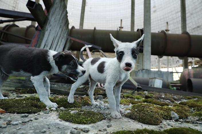 <p>Stray puppies play in an abandoned, partially completed cooling tower inside the exclusion zone at the Chernobyl nuclear power plant on Aug. 18, 2017, near Chernobyl, Ukraine. (Photo: Sean Gallup/Getty Images) </p>