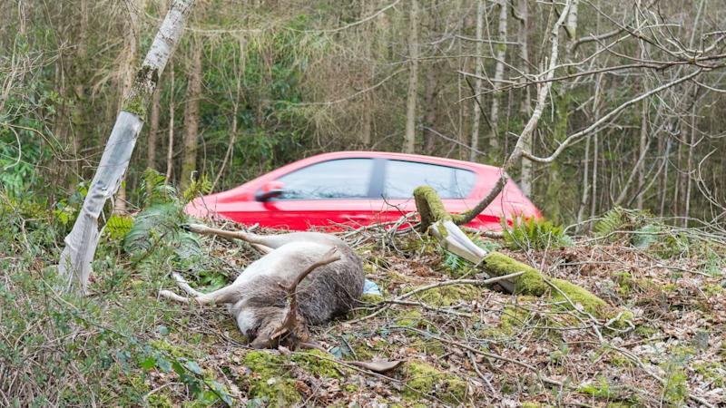 Dead deer at the side of the A82 road in the Loch Lomond Scotland