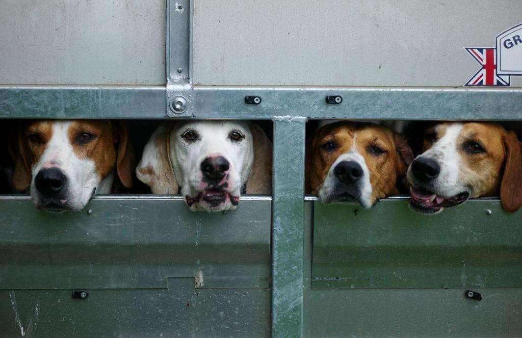 <p>Hounds wait in their trailer before judging during the Duncombe Park Country Fair in Helmsley, England. Set in the grounds of one of Yorkshire's most historic houses and estates the annual event which was formed in 1982 celebrates all aspects of the countryside and is billed as the original country fair of Yorkshire. (Ian Forsyth/Getty Images) </p>