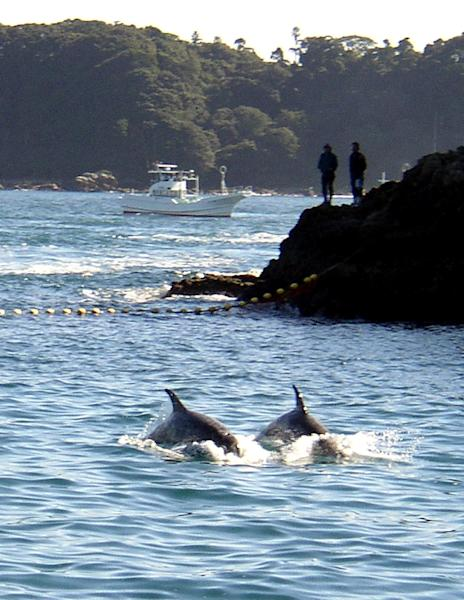 In Japan's annual dophin hunt, people in Taiji corral hundreds of dolphins into a secluded bay and butcher them (AFP Photo/Ryan Nakashima)
