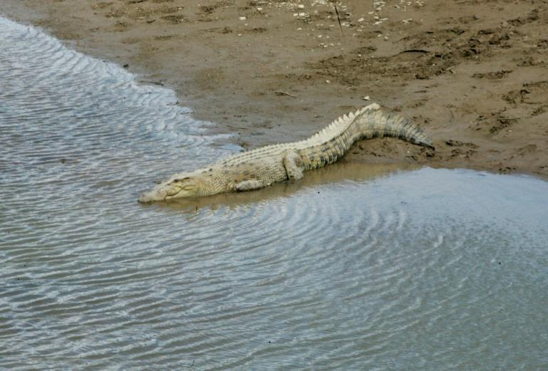 Conservation efforts have boosted Australia's crocodile population,leading to greater competition for resources -- and potentially forcing some to go farther afield