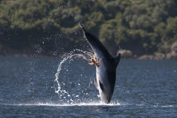 Octopus Hitches Ride on Dolphin's Genitals