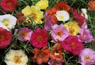 """<p>This low-growing annual succulent, also called moss rose, comes in jewel-tones and flowers and flowers all summer long. Its fleshy leaves make it heat and drought tolerant. Plant it in rock gardens or in the front of borders. Needs full sun.</p><p>Varieties to try: Mojave Fuschia, Color Carosel Mix</p><p><a class=""""link rapid-noclick-resp"""" href=""""https://go.redirectingat.com?id=74968X1596630&url=https%3A%2F%2Fwww.homedepot.com%2Fp%2FPROVEN-WINNERS-4-Pack-4-25-in-Grande-Mojave-Fuchsia-Moss-Rose-Portulaca-Live-Plant-Fuchsia-Flowers-PORPRW1187524%2F301578088%3Fsource%3Dshoppingads%26locale%3Den-US%26mtc%3DShopping-B-F_D28O-G-D28O-28_8_LIVE_GOODS-NA-NA-NA-SMART-NA-NA-SMART_SHP%26cm_mmc%3DShopping-B-F_D28O-G-D28O-28_8_LIVE_GOODS-NA-NA-NA-SMART-NA-NA-SMART_SHP-71700000064169154-58700005694172116-92700051912266616%26gclid%3DCjwKCAjw9MuCBhBUEiwAbDZ-7gb5D_H7f_Iib7dxM4636pKL65zR3DuvAF-Rc-utq-vaERT8ikxDaBoCnoQQAvD_BwE%26gclsrc%3Daw.ds&sref=https%3A%2F%2Fwww.housebeautiful.com%2Fentertaining%2Fflower-arrangements%2Fg2411%2Fpopular-flowers-summer%2F"""" rel=""""nofollow noopener"""" target=""""_blank"""" data-ylk=""""slk:SHOP NOW"""">SHOP NOW</a></p>"""