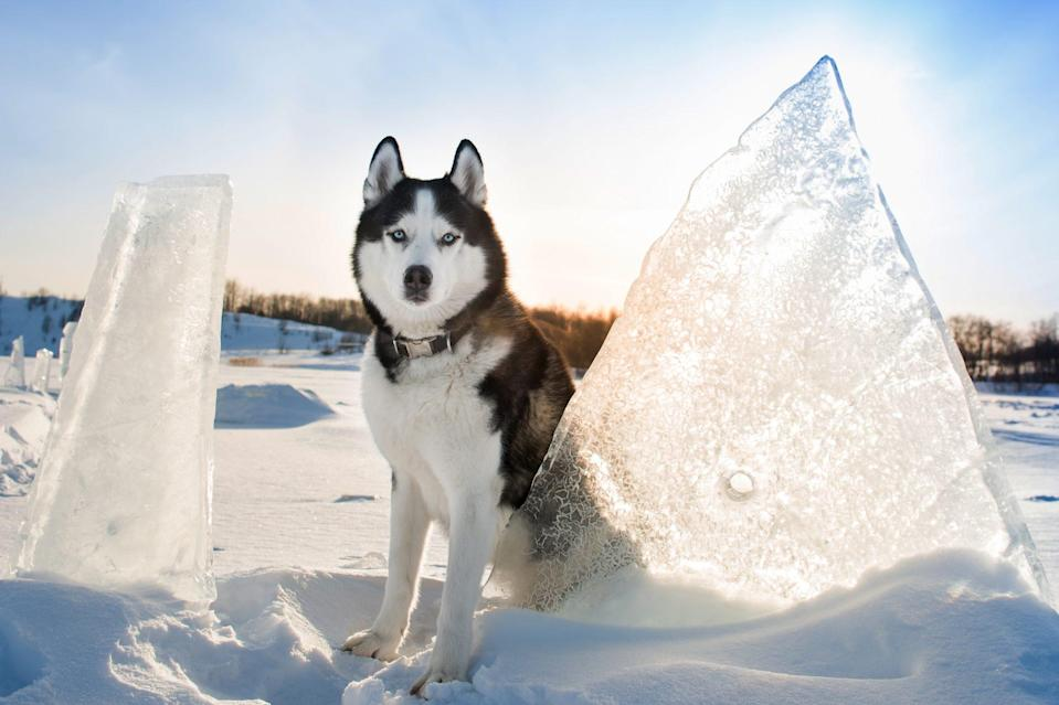 "<p>Adapted to pulling sleds in the cold tundras of Alaska and beyond, the <a href=""https://www.akc.org/dog-breeds/siberian-husky/"" rel=""nofollow noopener"" target=""_blank"" data-ylk=""slk:Siberian Husky"" class=""link rapid-noclick-resp"">Siberian Husky</a> is fast and nimble-footed. As born pack dogs, Siberians enjoy family life and get on well with other dogs although, instinctively, they can't resist chasing smaller animals. Mushers still keep packs of them for sport; less adventurous owners will simply enjoy a Siberian's company as their sociable companion.</p>"