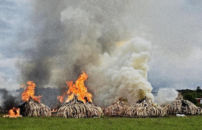 Stacks of elephant tusks and rhinoceros horns are burned after being seized from traffickers at the Nairobi National Park in 2016 (AFP Photo/CARL DE SOUZA)