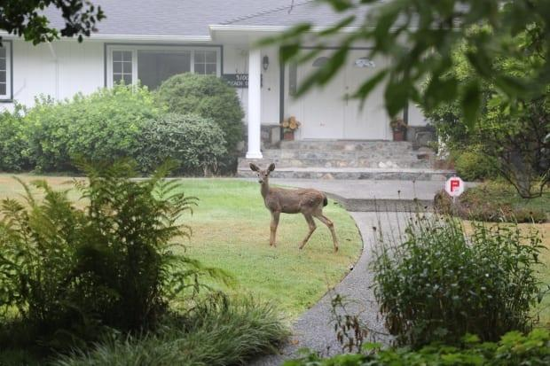 Esquimalt is following Oak Bay's lead in giving a proportion of their urban deer population an immunocontraception vaccine to reduce their numbers.   (Georgie Smyth/CBC  - image credit)