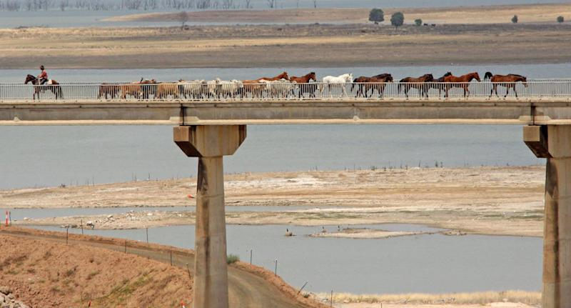 About 1500 cattle moving across the Fairbairn Dam wall in Emerald, Queensland.