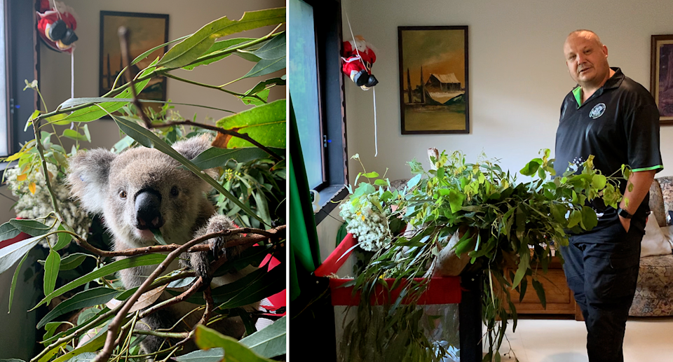 Left - Abby the koala. Right - Mr Lonza stands next to Abby's playpen in his house.