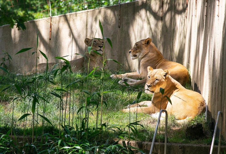 Lions and tigers at the Smithsonian's National Zoo have tested presumptive positive for the virus that causes COVID-19