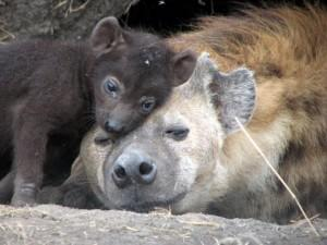 A hyena cub snuggles with its mother at the den.