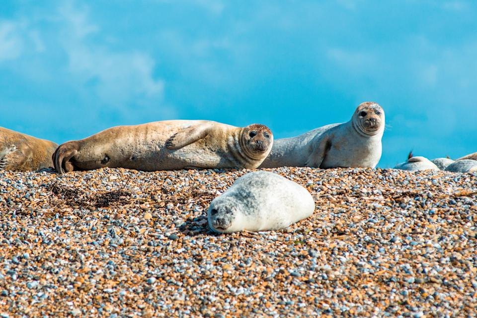 The tubby residents of Blakeney Point - getty