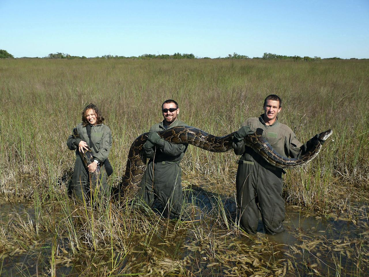 In this November 14, 2009 photo provided by the University of Florida, University of Florida researchers hold a 162-pound Burmese python captured in Everglades National Park, Fla. Therese Walters, left, Alex Wolf and Michael R. Rochford, right, are holding the 15-foot snake shortly after the python ate a six-foot American alligator. The National Academy of Science report released Monday, Jan. 30, 2012, indicates that the proliferation of pythons coincides with a sharp decrease of mammals in the park. (AP Photo/ University of Florida, Michael R. Rochford)