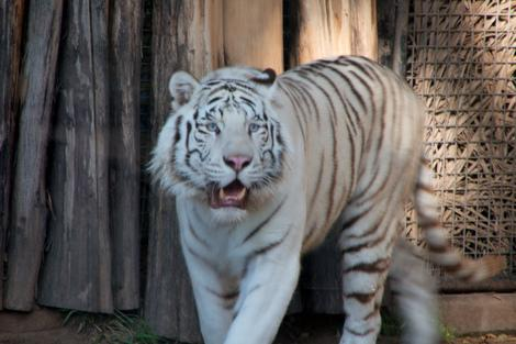 A white tiger at the Buenos Aires zoo. (Photo courtesy of flickr.com/photos/christianhaugen.)