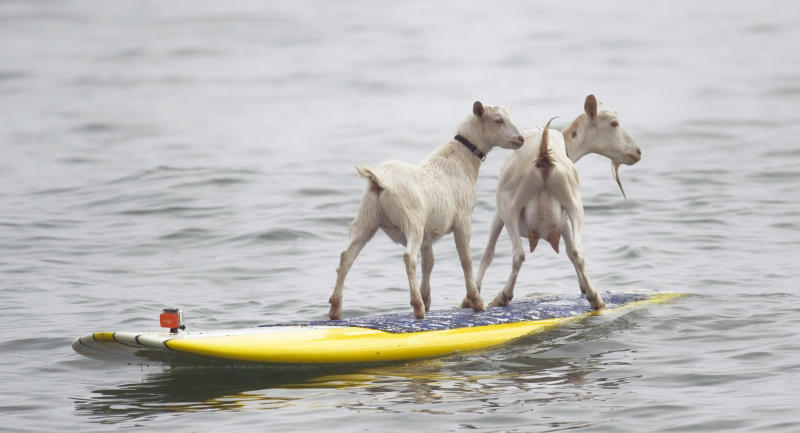 Dana NcGregor's pet goats Pismo, left, and Goatee surf at San Onofre State Beach, Calif., on Wednesday July 11, 2012. McGregor started taking Pismo's mother Goatee to the beach, and it wasn't long before she was on a surfboard. When Pismo was born, McGregor put her on a board too, and she was a natural, he says. (AP Photo/The Orange County Register, Ron Veal) MAGS OUT; LOS ANGELES TIMES OUT;TV OUT: MANDATORY CREDIT