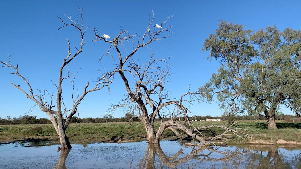 Spoonbills roosting in the distance on a dead tree. There is a water hole below.