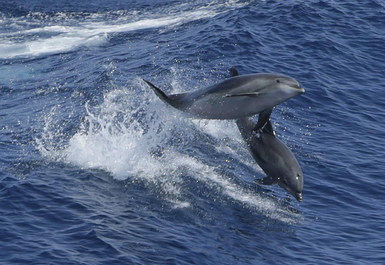 A pair of dolphins leap in the wake of Royal Caribbean cruise line ship 'Grandeur of the Seas' July 18, 2013 in the Atlantic Ocean between Bermuda and the United States main land.  REUTERS/Gary Cameron/File Photo