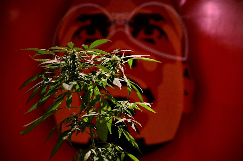 A vendor displays a marijuana plant at a medical-products fair in Bogota, Colombia, on December 22, 2015