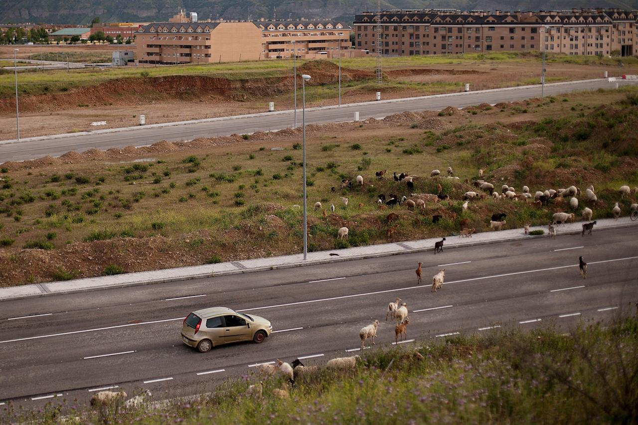 MADRID, SPAIN - MAY 14:  Goats are sheparded across a side road of the MP-203 highway near Mejorada del Campo on May 14, 2013 in Madrid, Spain. The MP-203 highway, which was built to decongest the Barcelona highway (A-2), has remained unfinished for 6 years after an initial investment 70 millions Euro between 2005 and 2007. Despite the completion of around 70 percent of the 12.5 kilometer project it was stopped after issues arose with the Madrid - Barcelona high speed railway and the connection to the R-3 highway.  (Photo by Pablo Blazquez Dominguez/Getty Images)