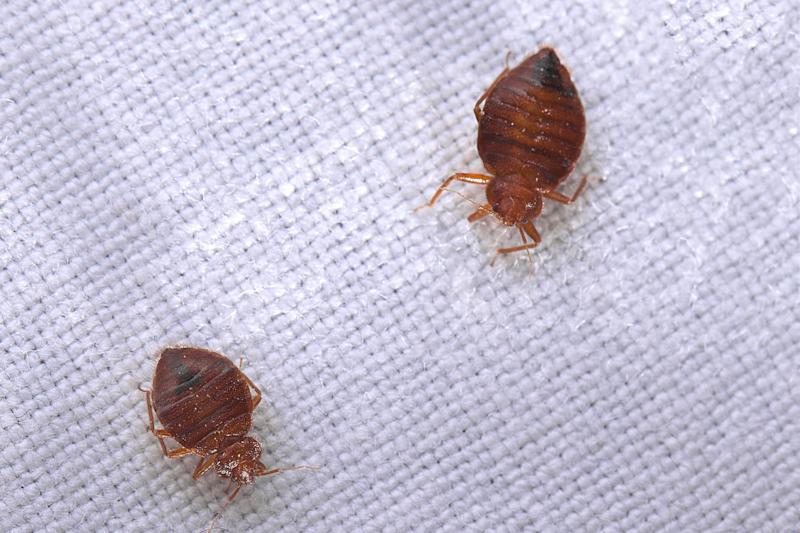 Astonishing 6 Home Remedies For Bed Bugs Home Interior And Landscaping Mentranervesignezvosmurscom