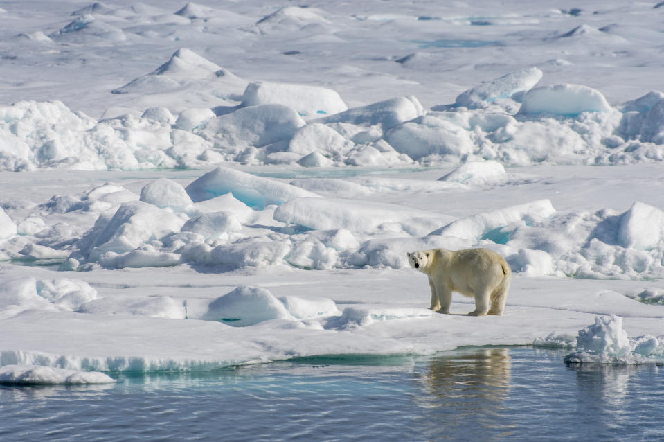 SVALBARD AND JAN MAYEN ISLANDS - 2015/07/20: A polar bear (Ursus maritimus) is walking over the pack ice north of Svalbard, Norway. (Photo by Wolfgang Kaehler/LightRocket via Getty Images)