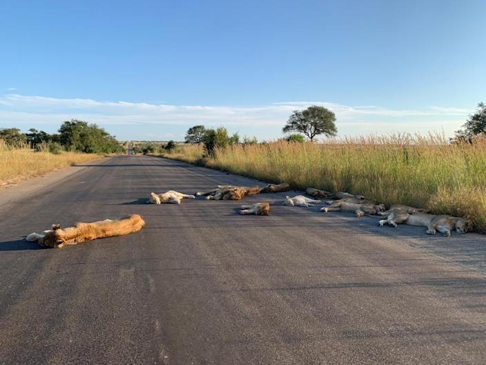 Lions napping just outside Orpen Rest Camp in Kempiana Contractual Park, South Africa on April 15, 2020.