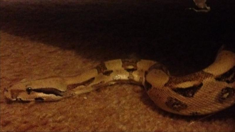 Michigan Woman Finds Python in Secondhand Couch (ABC News)