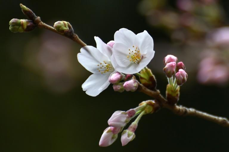 Japan's sakura or cherry blossom season is feverishly anticipated by locals and visitors alike. Many tourists plan their entire trips around the blooms, and Japanese flock to parks in their millions to enjoy the seasonal spectacle