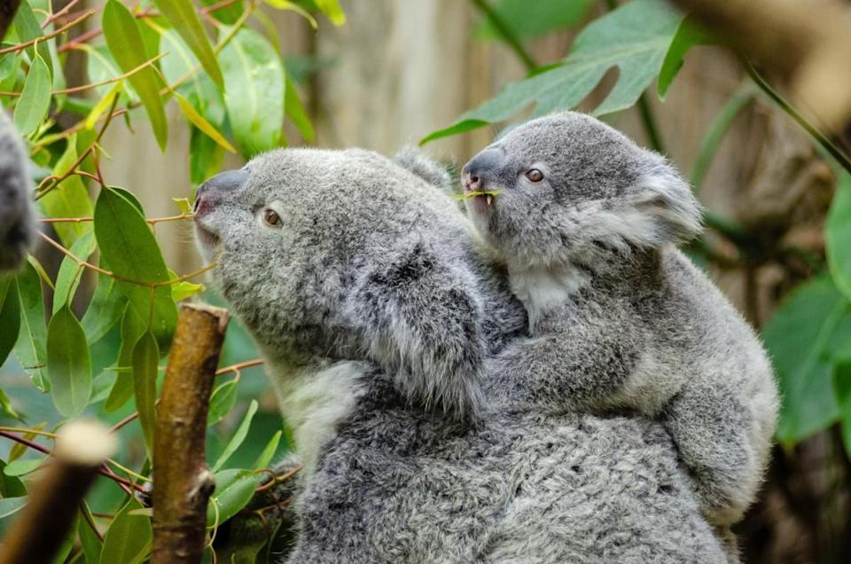 Are koalas 'functionally extinct?' Not so fast, say experts