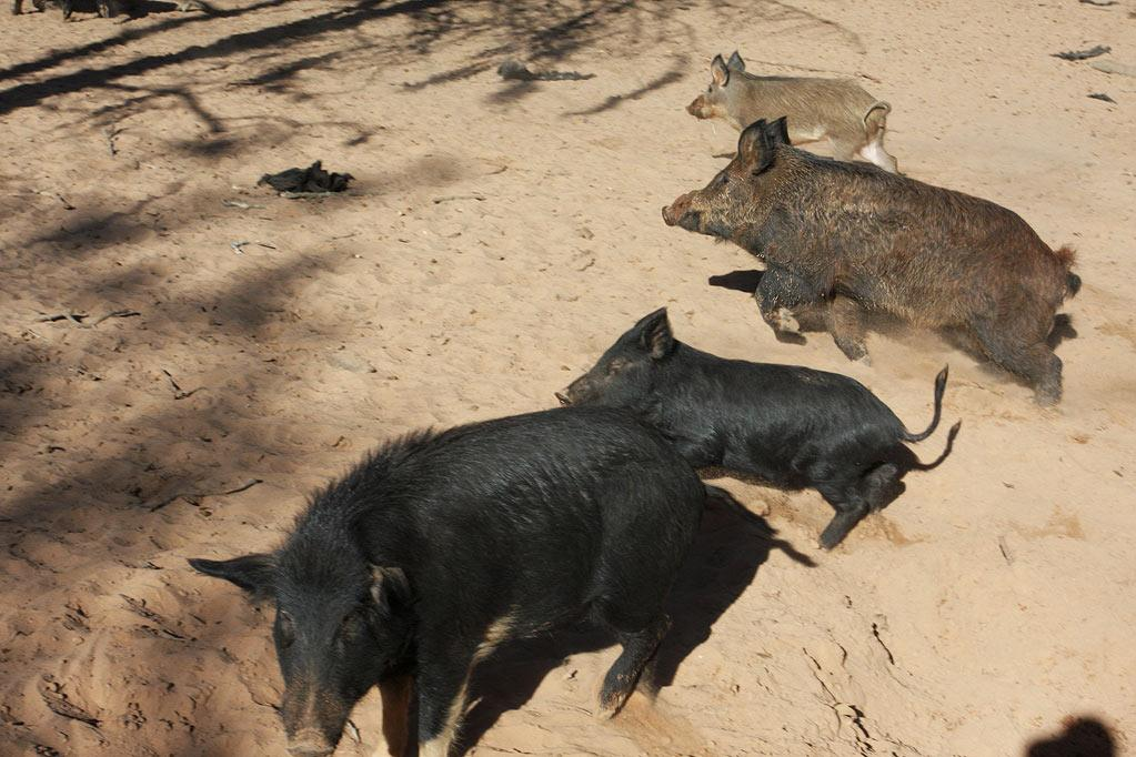 "Group of wild hogs as seen on ""Wild Hogs."""