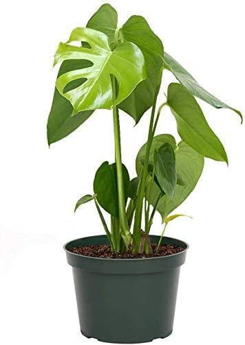 """<h2>American Plant Exchange Philodendron Monstera Deliciosa Split</h2><br><strong>The Hype:</strong> 4.2 out of 5 stars and 82 reviews<br><br><strong>Plant Parents Say:</strong> """"Great plant for the price. Some Monsteras are very costly so I wasn't sure how big this actually would be when I ordered. It's large and healthy. Very excited about this purchase.""""<br><br><em>Shop</em> <strong><em><a href=""""https://amzn.to/2MebWQC"""" rel=""""nofollow noopener"""" target=""""_blank"""" data-ylk=""""slk:American Plant Exchange"""" class=""""link rapid-noclick-resp"""">American Plant Exchange</a></em></strong><br><br><br><br><strong>AMERICAN PLANT EXCHANGE</strong> Philodendron Monstera Deliciosa, $, available at <a href=""""https://amzn.to/3nZjX9S"""" rel=""""nofollow noopener"""" target=""""_blank"""" data-ylk=""""slk:Amazon"""" class=""""link rapid-noclick-resp"""">Amazon</a>"""