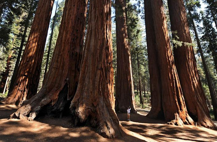 <p>Massive Redwood tree trunks spurt out of the ground at Sequoia National Park, California. // October 11, 2009</p>