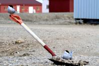 <p>This image shows Arctic terns in Svalbard. It was named as runner up in the Behaviour category. (PA) </p>