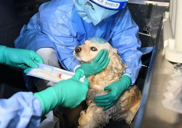 PHOTO: A dog is tested for COVID-19 in South Korea on Feb. 10, 2021. (Seoul Metropolitan Government)