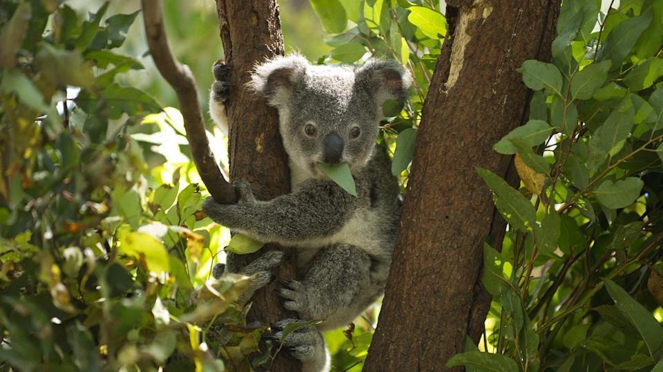 A panel of experts will be appointed as a to help protect southeast Queensland's koala population.