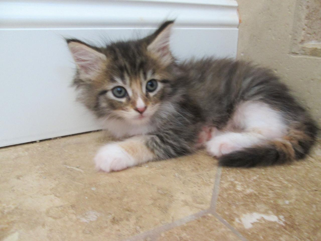"""A Maine Coon featured on Animal Planet's """"Too Cute! Kittens."""""""