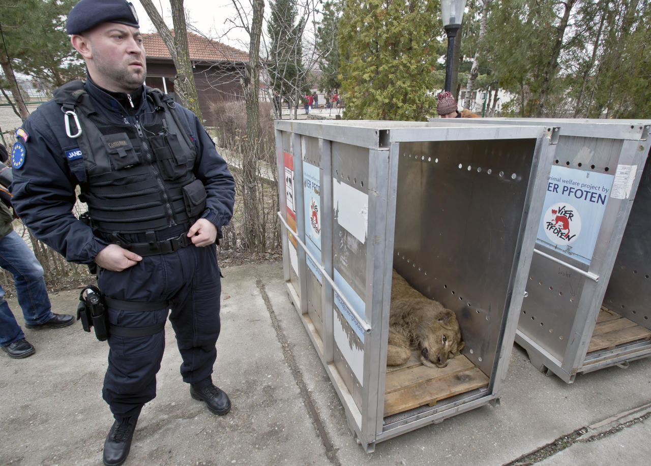A Romanian riot police officer stands near a sedated lioness lying in a transport cage, at the estate of Ion Balint, known to Romanians as Nutzu the Pawnbroker, a notorious gangster, in Bucharest, Romania, Wednesday, Feb. 27, 2013. Authorities along with specialists of the animal welfare charity Vier Pfoten removed four lions and two bears that were illegally kept on the estate of one of Romaniaís most notorious underworld figures who reportedly used them to threaten his victims. Balint was arrested on Feb. 22, with dozens of others on charges of attempted murder, depriving people of their freedom, blackmail and illegally holding arms. (AP Photo/Vadim Ghirda)