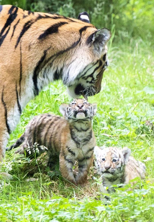 Two of the three Amur tiger cubs, with their mother