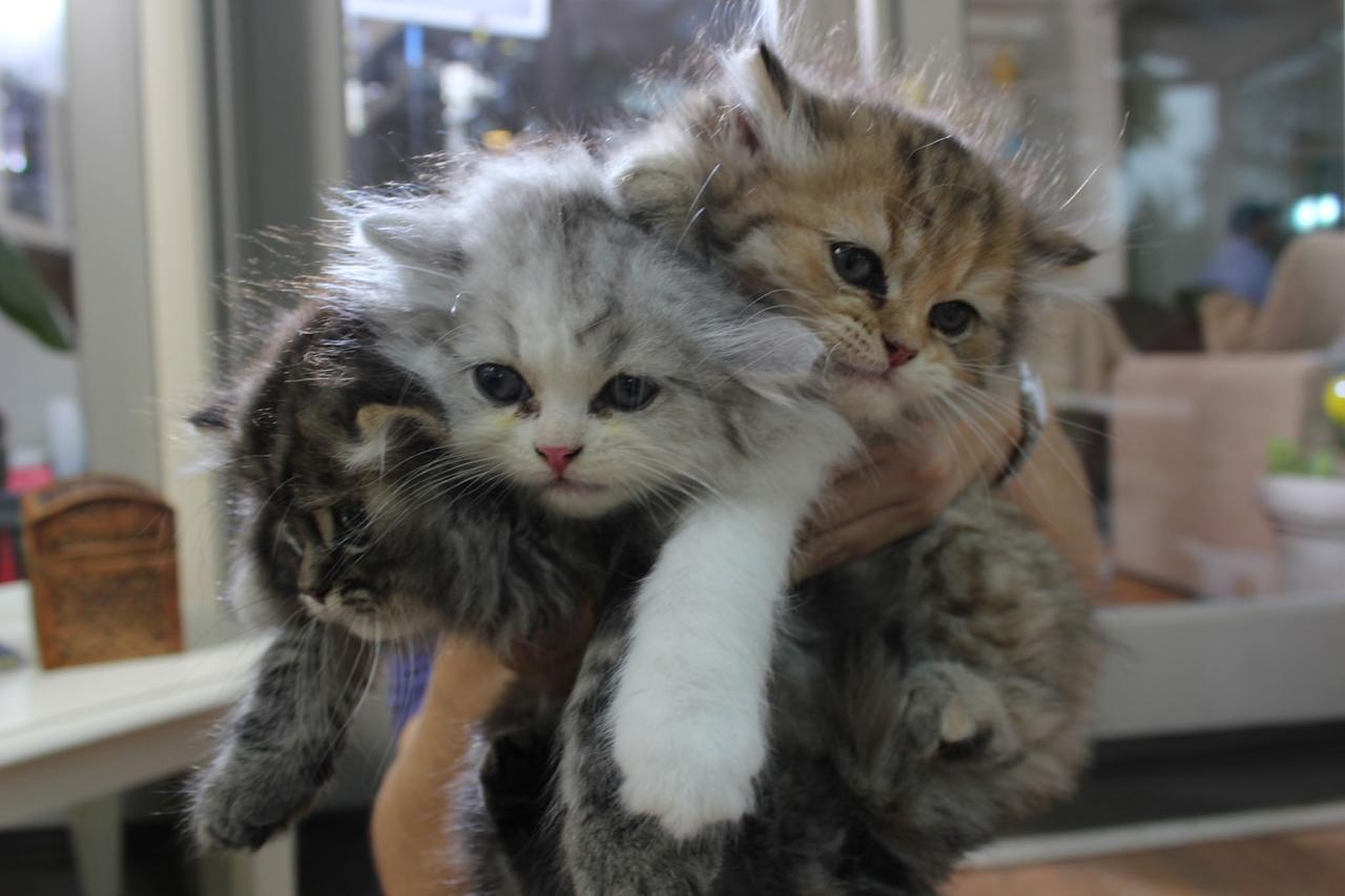 """Munchkin kittens featured on Animal Planet's """"Too Cute! Kittens."""""""