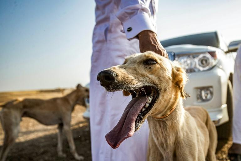 Syrian Kurdish dog breeder Mohammed Derbas pets one of his Saluki dogs in the village of Ad-Derbasiyah -- one of the many hounds he raises for sale to the Gulf