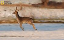 """Last week I was walking in the field, taking pictures of the winter landscape, when suddenly several deer frightened of me, jumped out of nearby bushes, and fled. I managed quickly to change the program of my camera and took some panning pictures. (Photo and caption Courtesy Veronika Kolev / National Geographic Your Shot) <br> <br> <a href=""""http://ngm.nationalgeographic.com/your-shot/weekly-wrapper"""" rel=""""nofollow noopener"""" target=""""_blank"""" data-ylk=""""slk:Click here"""" class=""""link rapid-noclick-resp"""">Click here</a> for more photos from National Geographic Your Shot."""