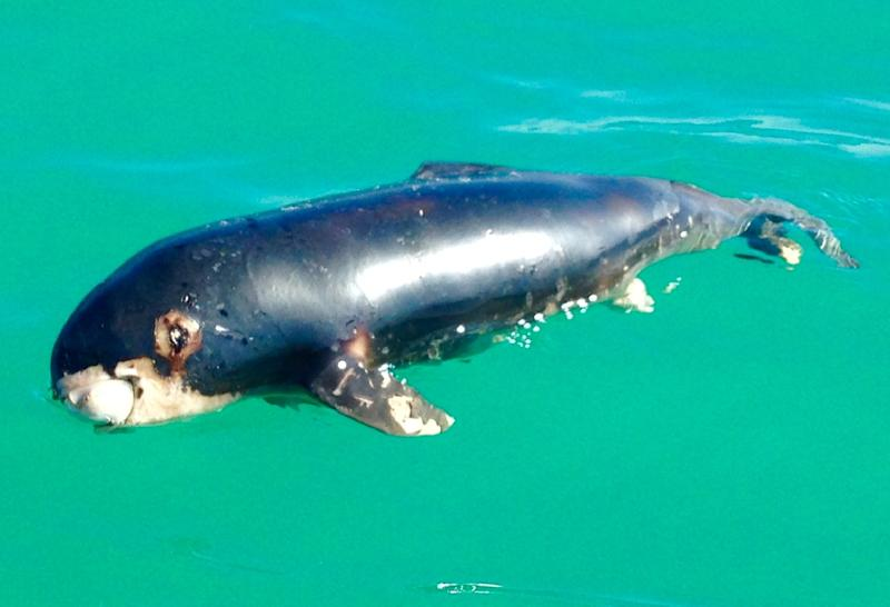 """This undated handout picture released on March 19, 2017 by the US environmental group Sea Shepherd Conservation Society shows a dead newborn """"vaquita marina"""" porpoise found at Playa Hermosa beach in the Gulf of California, Mexico"""