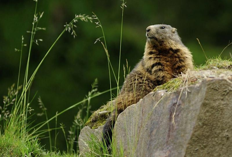 A quarantine was imposed in Mongolia after two people died after eating marmot (Picture: Getty)