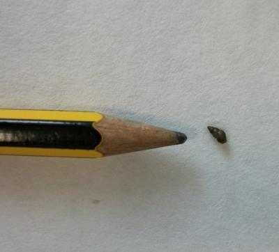 This is the mudsnail Potamopyrgus antipodarum, next to a pencil head for scale.