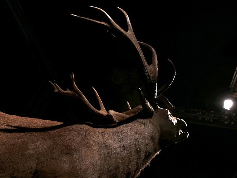 -The population of the boreal woodland caribou -- a North American reindeer -- has steadily declined due to encroaching industry
