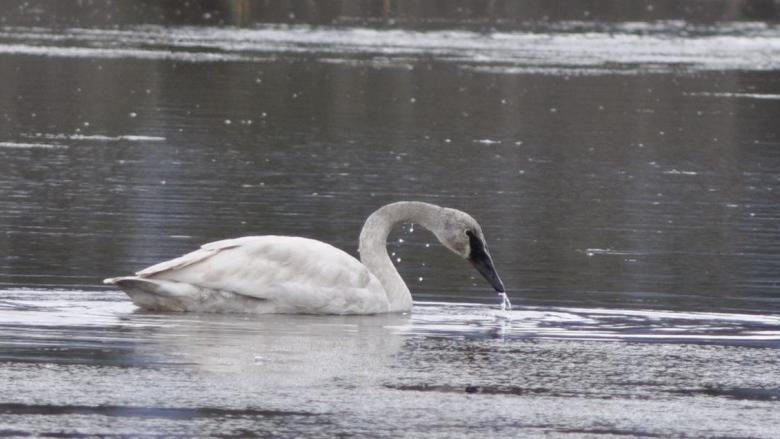 No fowl play: Environment Yukon won't pursue charges after Swan Haven flap