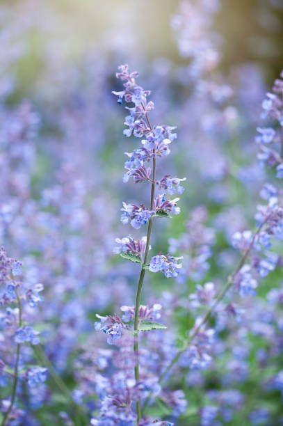 "<p>This hardy perennial with fuzzy gray-green foliage has a spicy, minty scent and purple-blue flowers that last from midsummer onwards. Pollinators love catmint! Newer varieties are compact and but keep a nice mounded shape. Catmint requires full sun.</p><p><a class=""link rapid-noclick-resp"" href=""https://www.provenwinners.com/plants/nepeta/cats-pajamas-catmint-nepeta-hybrid"" rel=""nofollow noopener"" target=""_blank"" data-ylk=""slk:SHOP CATMINT"">SHOP CATMINT</a></p>"