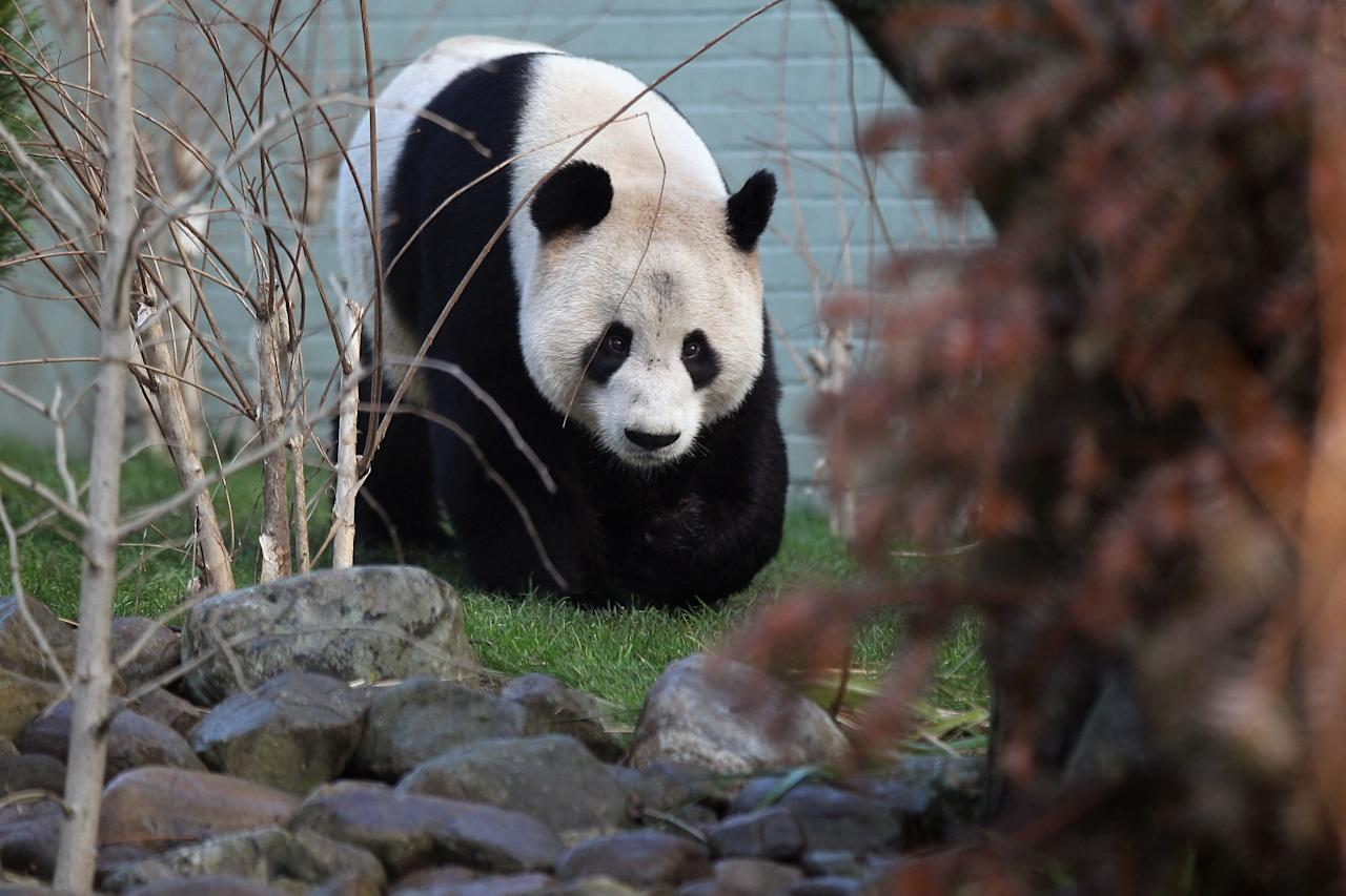 EDINBURGH, SCOTLAND - DECEMBER 12:  Male panda Yang Guang makes his first appearance in front of the media since arriving from China on December 12, 2011 in Edinburgh, Scotland. The eight-year-old pair of giant pandas arrived on a specially chartered flight from China over a week ago and are the first to live in the UK for 17 years. Edinburgh zoo are hopeful that the pandas will give birth to cubs during their 10 year stay in Scotland.  (Photo by Jeff J Mitchell/Getty Images)